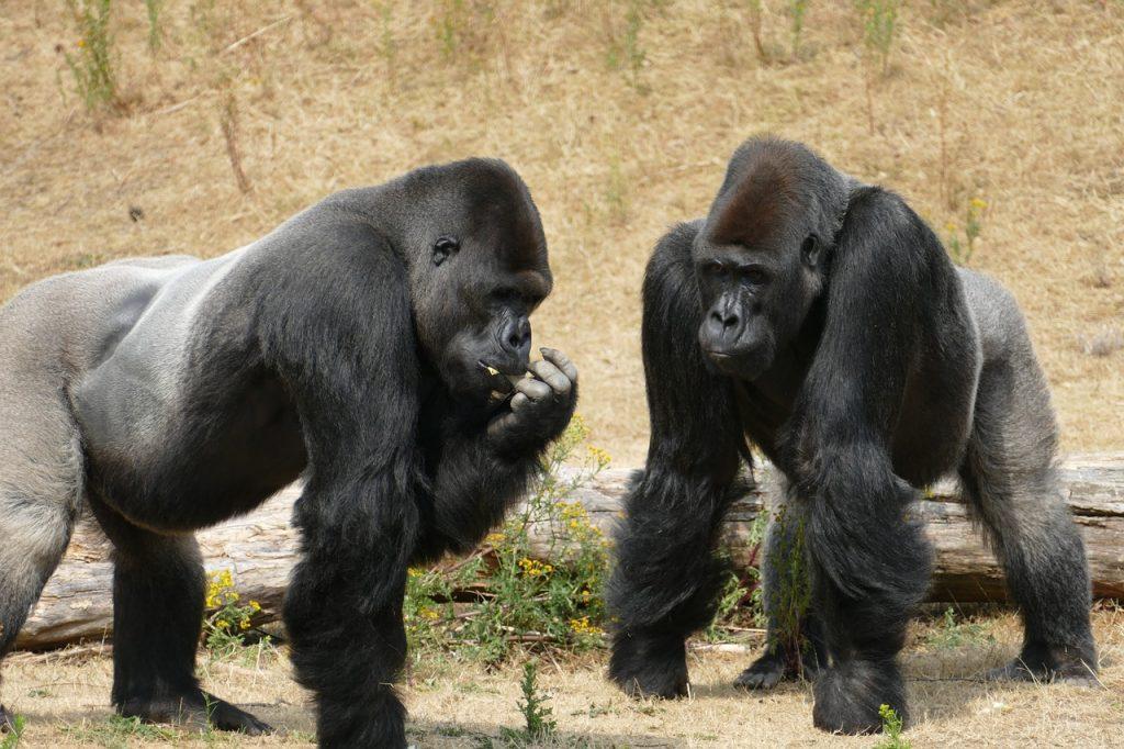 gorilla facts for children