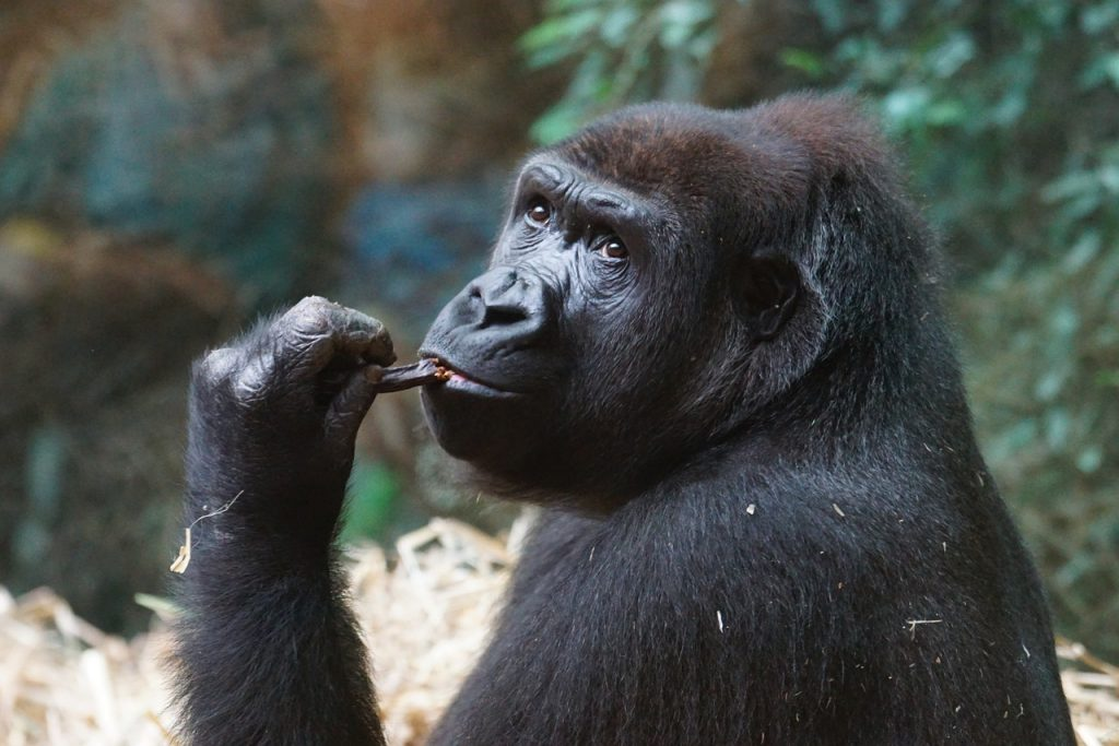 gorillas africa facts for kids