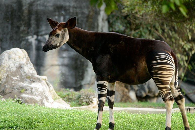 Okapi facts for kids