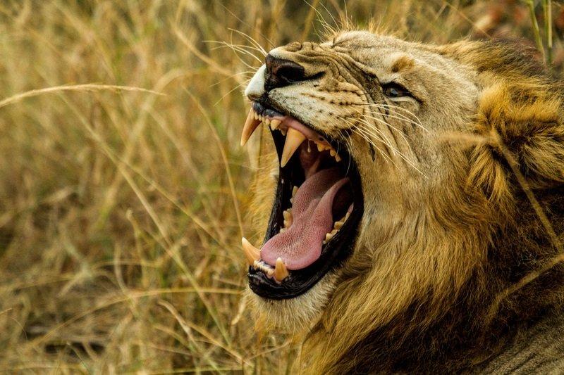 lion children facts