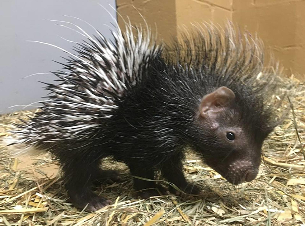 baby african porcupine