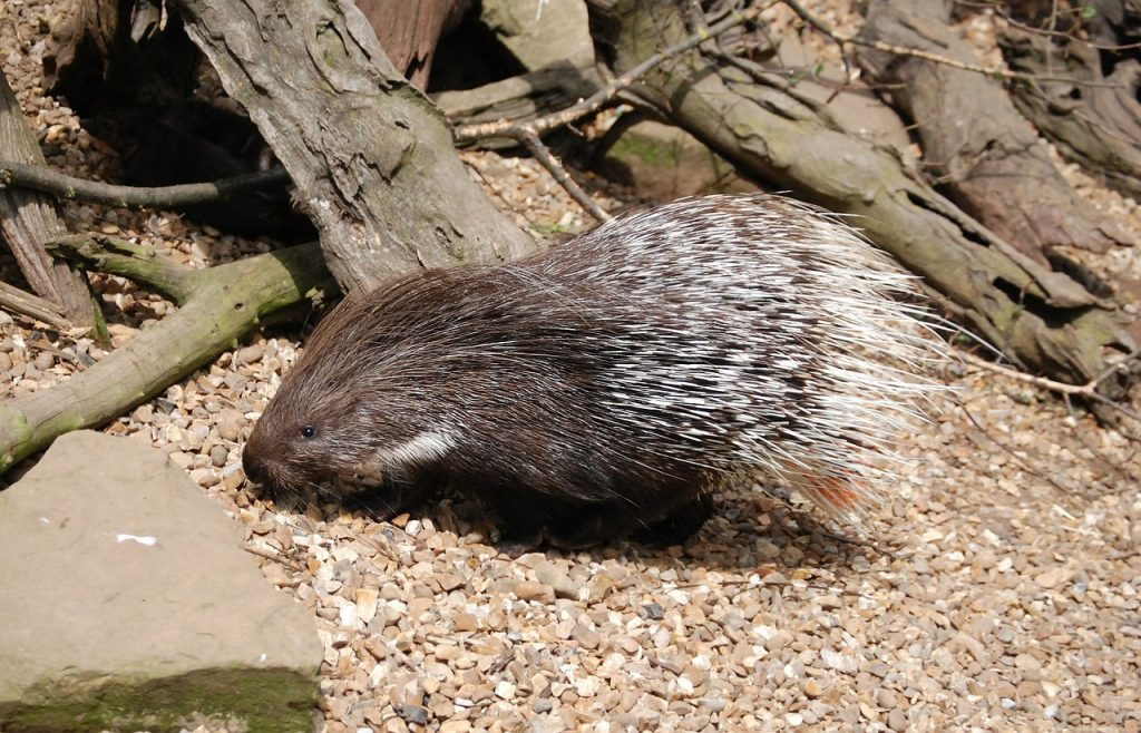 Porcupine crested African